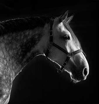 horse photography, grey horse